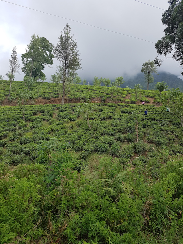 Tea plantation en route Kandy